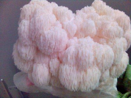 Korálovec ježatý recepty